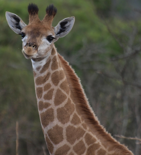 Portrait of baby giraffe - Ithala Game Reserve