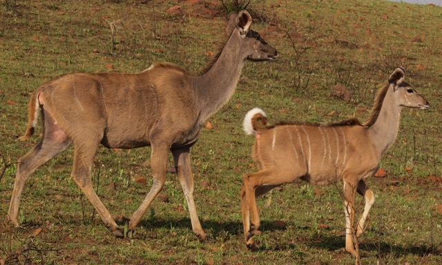 Adult Kudu and youngster - Ithala Game Reserve