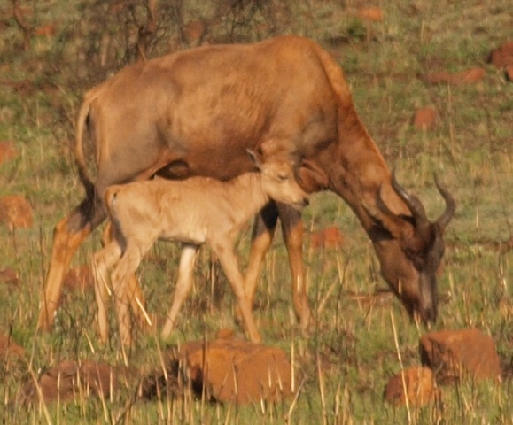 Adult Tsessebe and baby - Ithala Game Reserve