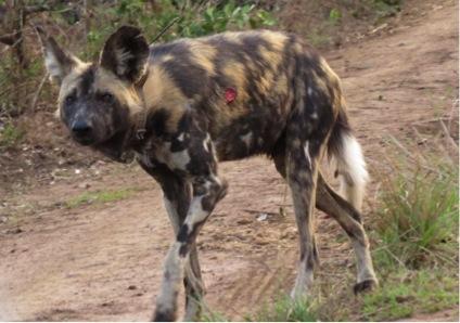 Ian, Wild Dog, Crossroads Pack, Hluhluwe, South Africa