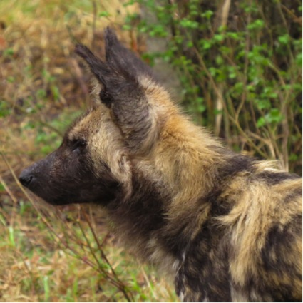 Solo, beta female of the Hluhluwe Wild Dog pack, South Africa
