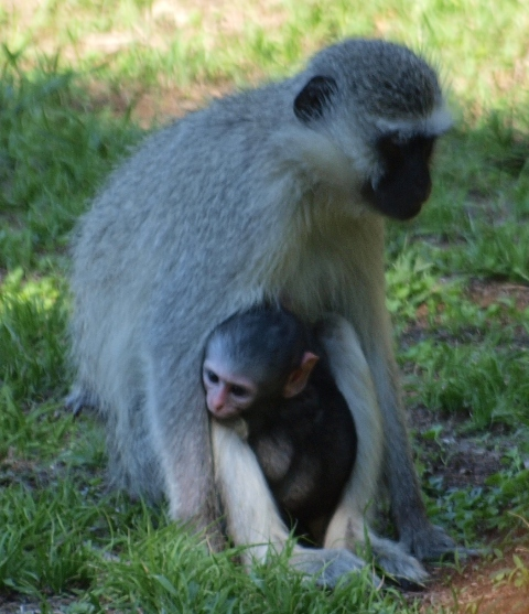 Vervet Monkey and her youngster - Ithala Game Reserve