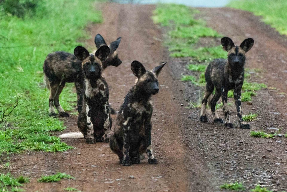 Wild Dog pups iMfolozi Antoine Marchal Wildlife ACT South Africa