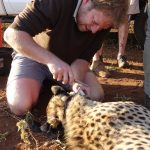 Chris Kelly Collaring a Cheetah
