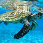 Existing threats to African wildlife species - Sea Turtle