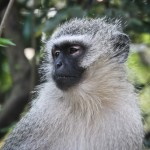 Vervet monkey - hluhluwe volunteer camp