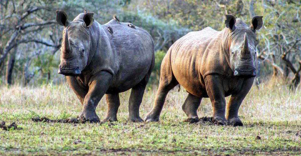 Rhino Banner Dave Gilroy