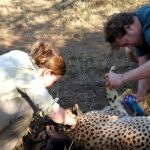 Treating wounded Cheetah