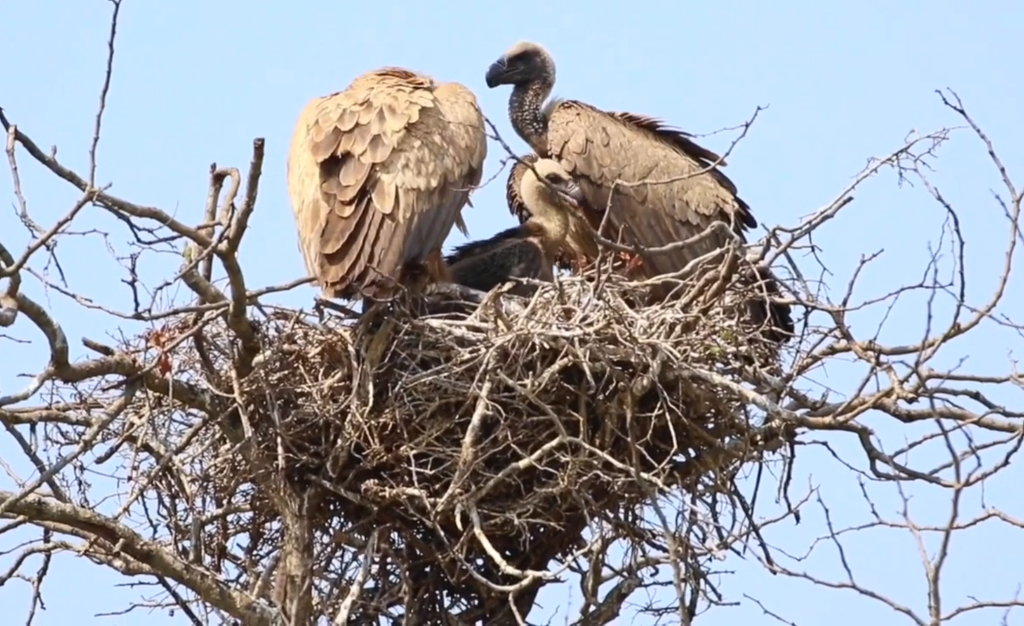 White-backed Vulture Chick