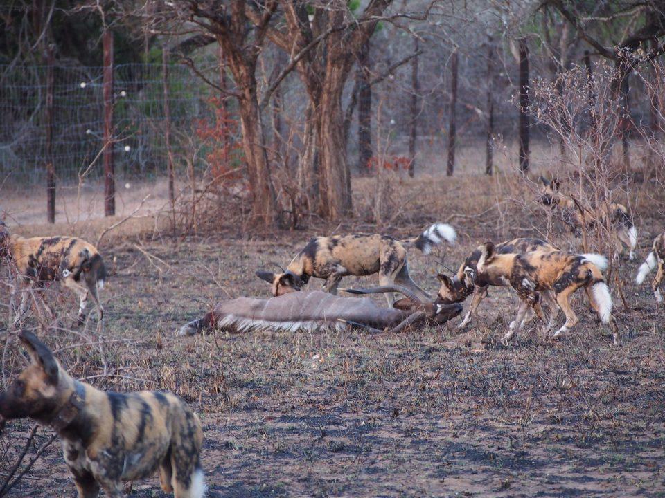Wild Dog Kudu kill
