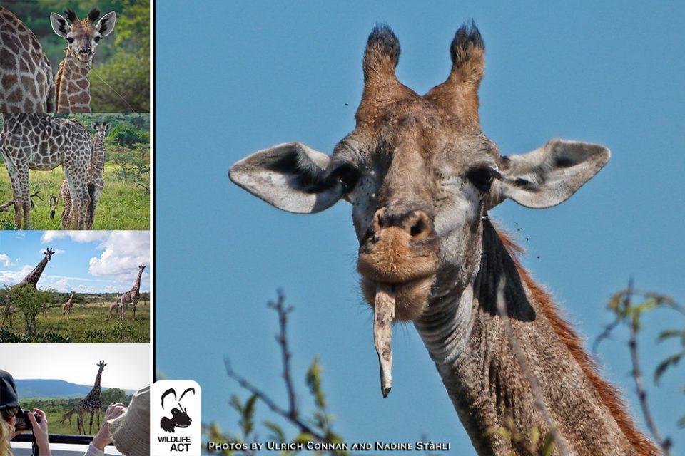 2014.02.20 FB Zimanga giraffe