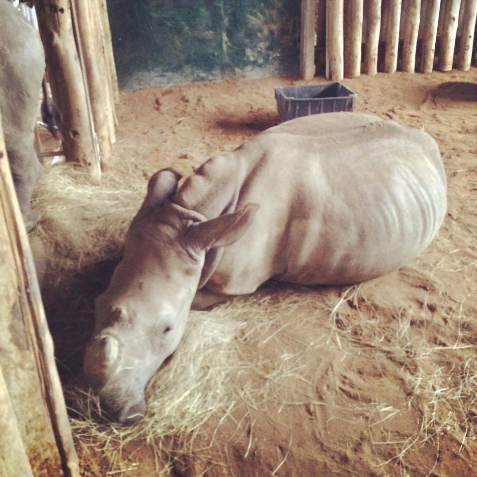 Baby Rhino orphan in iMfolozi