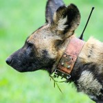 Wild Dog with anti-snare collar