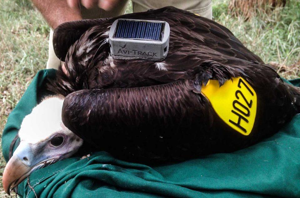 vulture GPS/GSM backpack - Zululand Vulture Tagging 2015