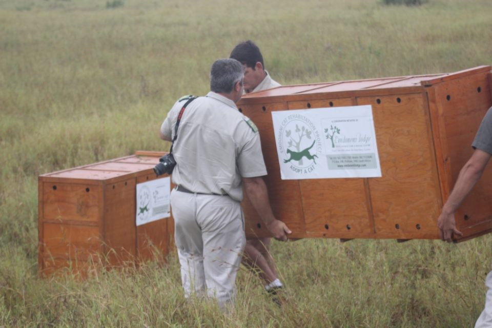 Serval being transported to uMkhuze Game Reserve