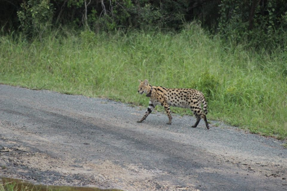 Serval on uMkhuze Game Reserve