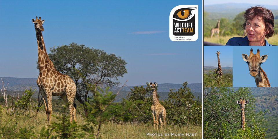 Zimanga giraffe - Rebecca Hart