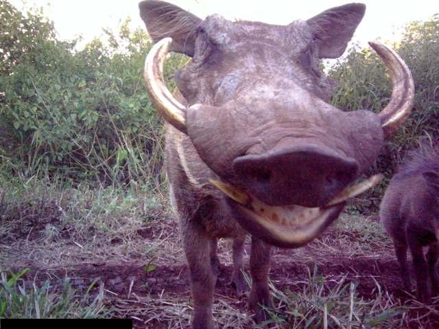 Somkhanda warthog