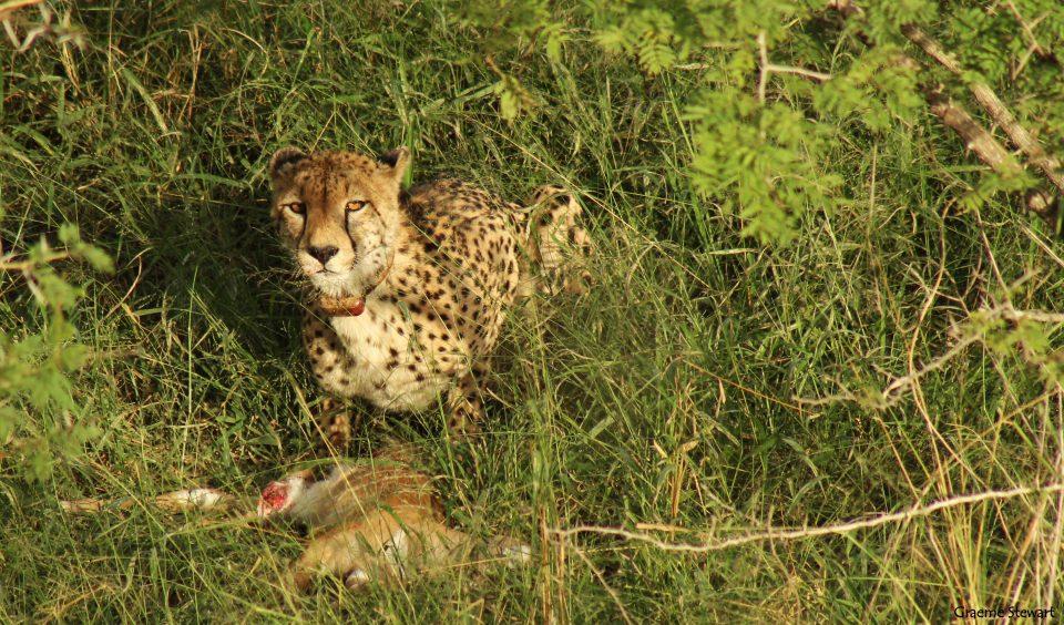 Zimanga Sightings: Cheetah Kill Zimanga Cheetah kill.