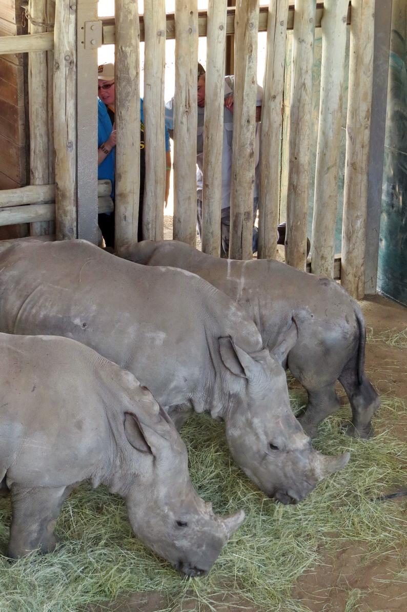 three orphaned rhino