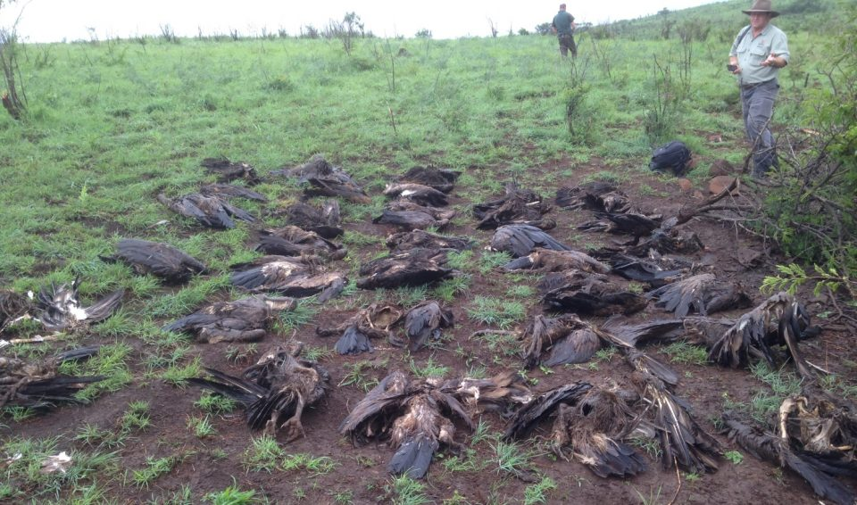 Dead Vultures due to Vulture Poisoning