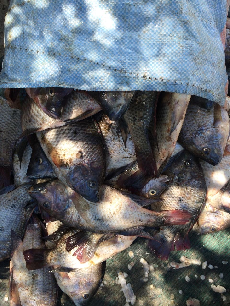 Lake Ngami Fish