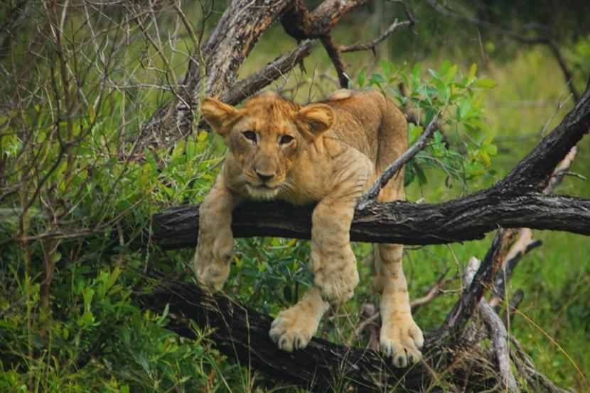Lion Cubs Stalking
