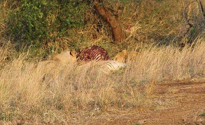 lion on a kill
