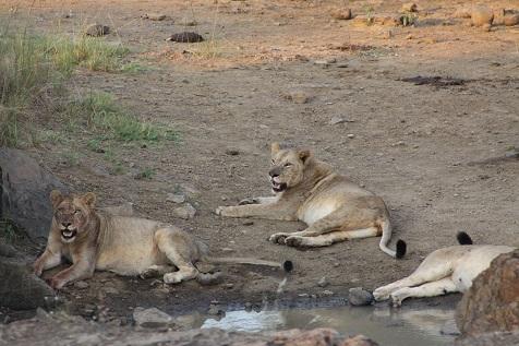 Lions lying at a waterhole