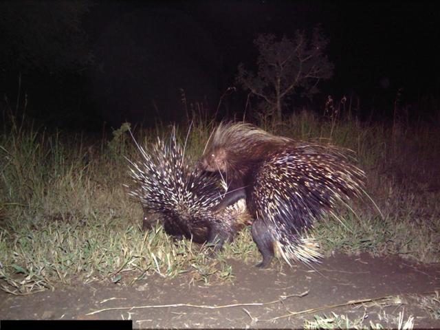 Somkhanda porcupines mating