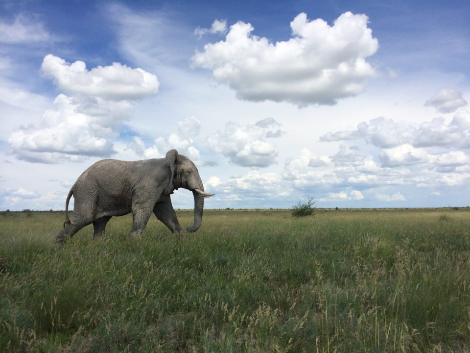 Elephant at Nxai Pans