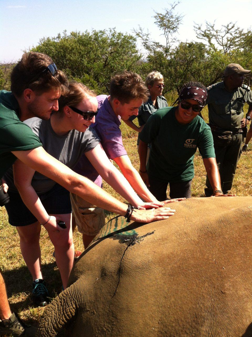 Volunteers with sedated rhino