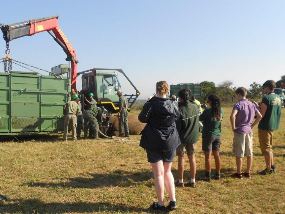 Volunteers watching a rhino being sedated