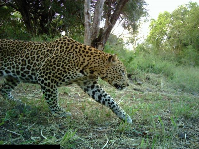 Somkhanda leopard