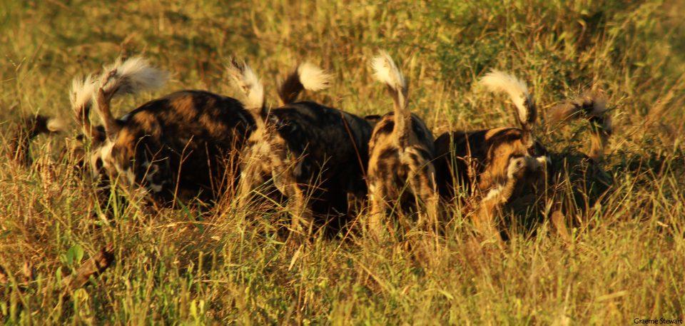 Zimanga Sightings: Wild Dog Kill