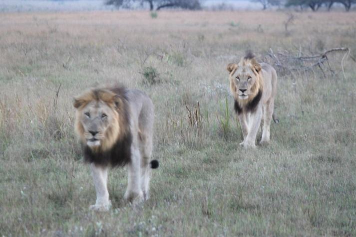 Tembe lions Tembe and uKosh