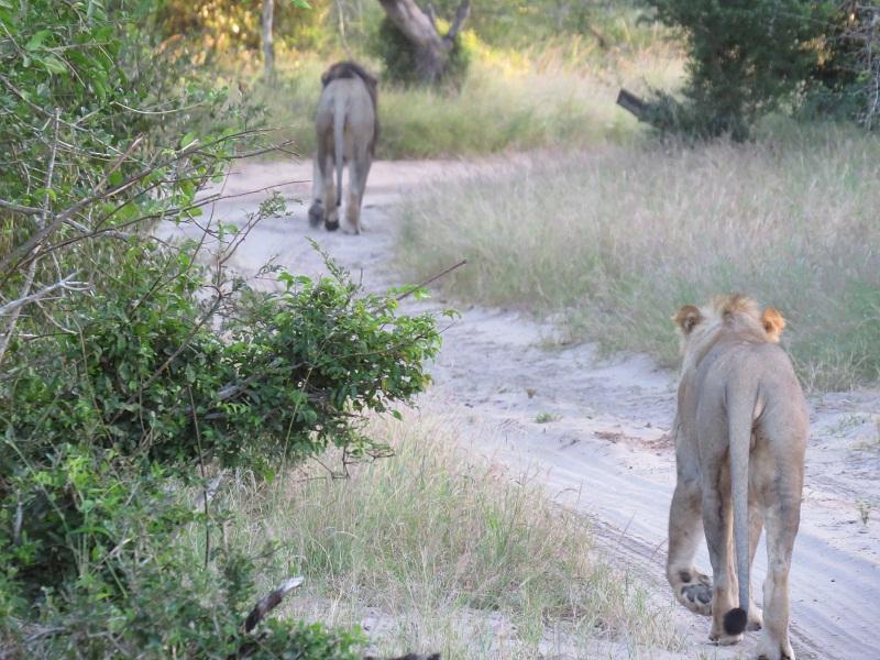 Tembe lions uKosh and Beaufort