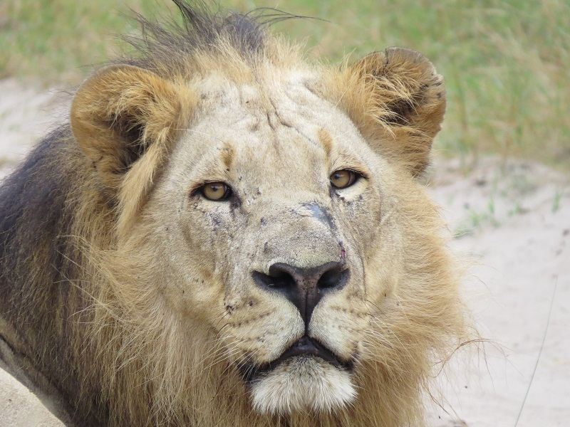 Tembe lion uKosh