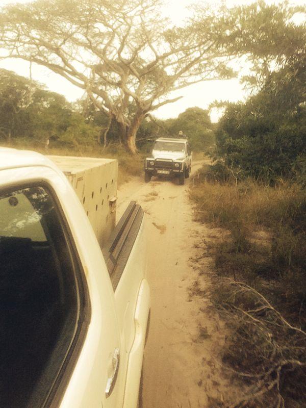 Wild dog Madikwe to Tembe convoy