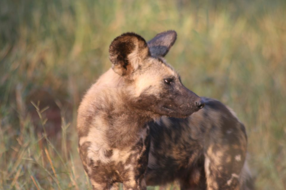 Wild dog Zimanga Sub-Adult