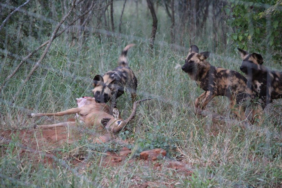 Zimanga Wild Dogs Sub-Adults Feeding