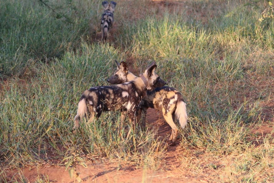 Zimanga Wild Dogs Sub-Adults
