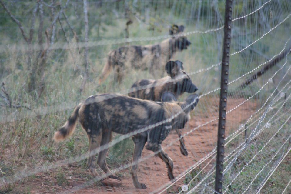 Zimanga Wild Dogs Sub-Adults Behind Fence