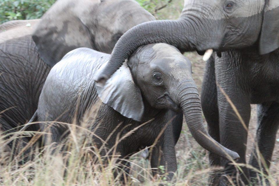Elephant Hluhluwe