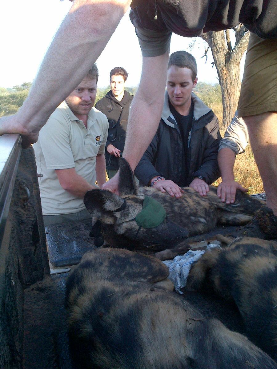 Wild dog being put in a bakkie - Wild Dog Relocation