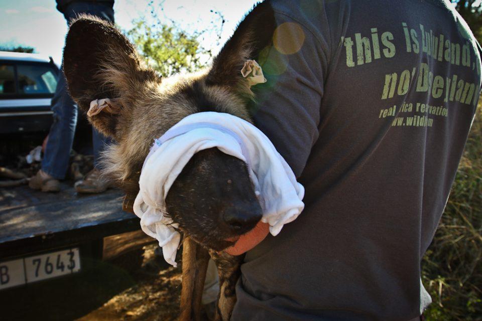Blindfolded wild dog - Wild Dog Relocation