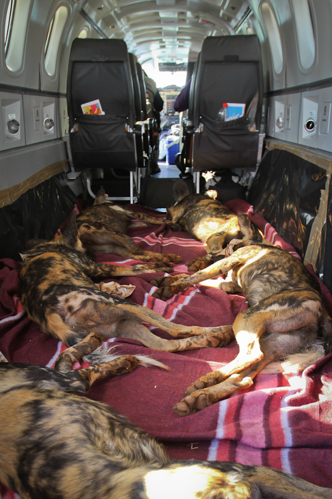 wild dogs on a plane - Wild Dog Relocation