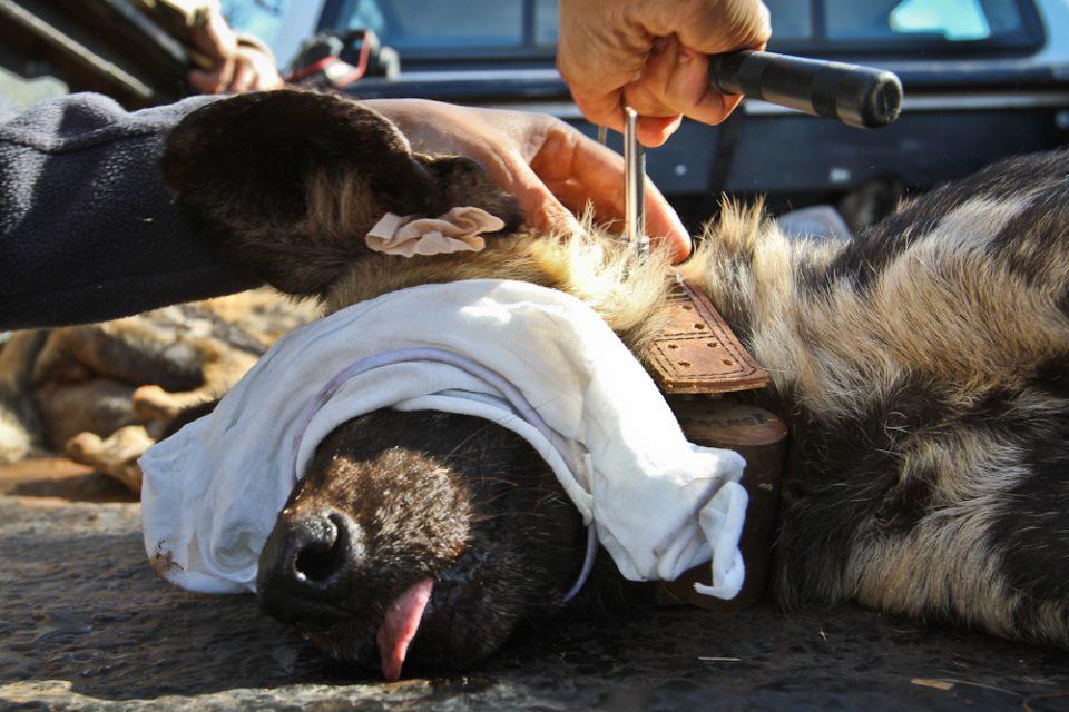 sedated wild dog - Wild Dog Relocation