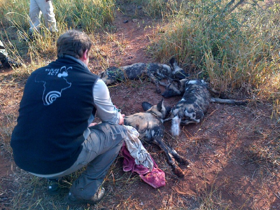 Sedated wild dogs - Wild Dog Relocation from KwaZulu-Natal to the Kalahari