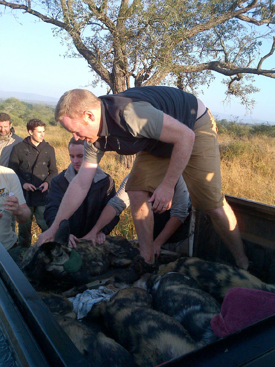 wild dogs on a bakkie - Wild Dog Relocation